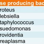 urease bacteria
