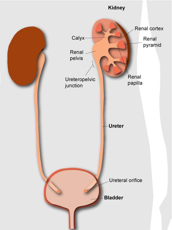 ureteral orifice where